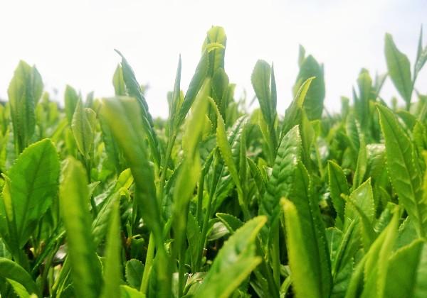 京都で育てられた高級茶葉